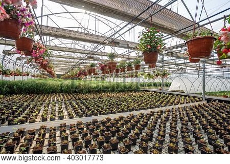 Rows Of Young Flowers In Greenhouse With A Lot Of Indoor Plants On Plantation
