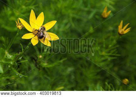 Honey bee outfoor  on flower in summer season