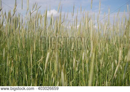 Ear Of Rye In The Field.close Up Of Rye Ears, Field Of Rye In A Summer Day. Sunrise Time.