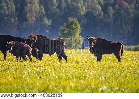 Wild European Aurochs In The Forest At Belovezhskaya Pushcha National Park, Belarus.
