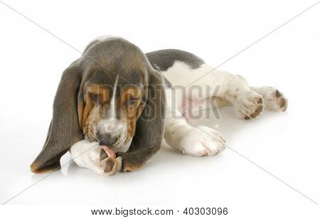 dog allergies - basset hound puppy licking foot with possible skin allergies