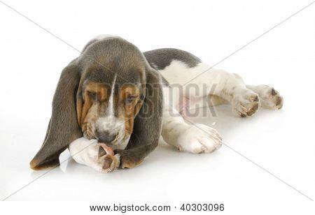 cão alergias - basset hound cachorro lambendo pés com alergias de pele possível