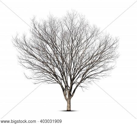 Dead Tree Isolated On White Background,tree In Winter.