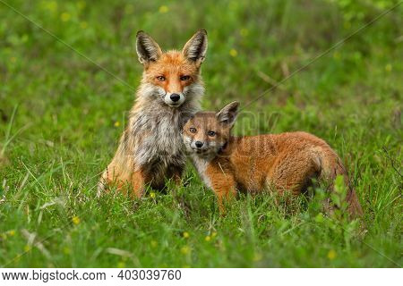Cute Red Fox Cub Nestling To Her Mother On Green Grass In Springtime