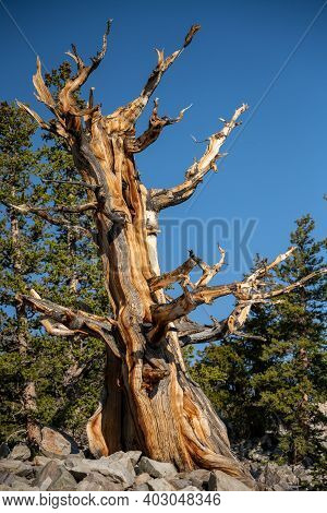 Bristle Cone Tree Stands After Thousands Of Years In Rocky Field In Great Basin National Park