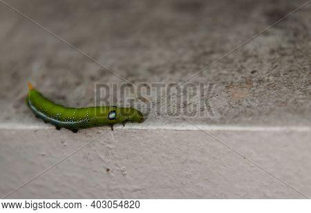 Close-up Of Big Green Worm Or Oleander Hawk Moth Caterpillar (daphnis Nerii, Sphingidae) Crawl On Th