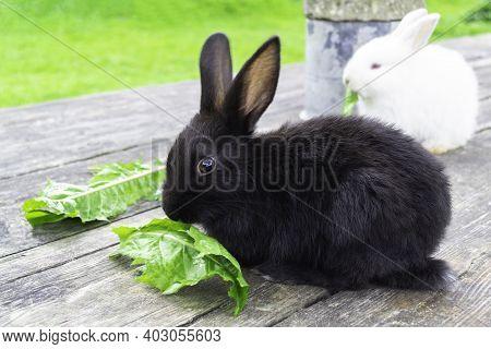 Bunny Rabbit Outdoors. Little, Cute Black Rabbit  Sit On Wood Table And Eat Leav In Garden.