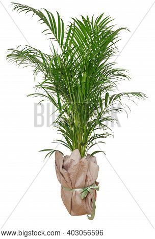 Isolated Plant Of Palm Tree In Pot Isolated On White Background. Minimal Tropical Leaves Houseplant