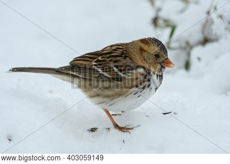 Harris's Sparrow eating sunflower seeds in snow