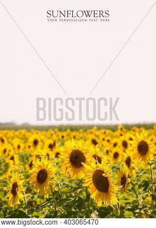 Sunflower farm with copy space and place holder text