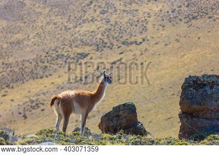 Wild Guanaco (Lama Guanicoe) in Patagonia prairie, Chile, South America