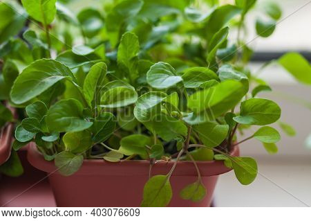 Growing Herbs On The Windowsill. Young Sprouts Of Arugula In A Pot On A White Windowsill