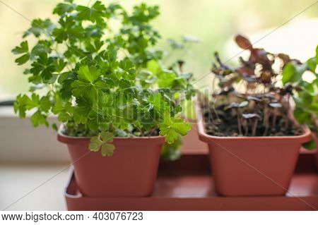 Growing Herbs On The Windowsill. Young Sprouts Of Parsley And Lilac Basil In A Pot On A White Window