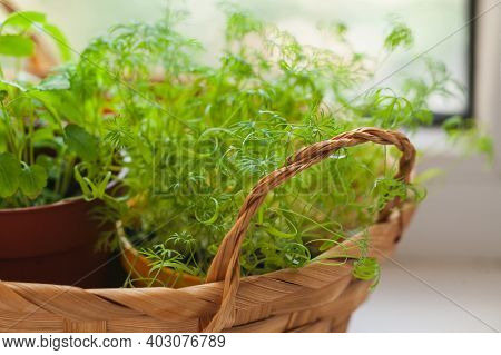 Growing Herbs On The Windowsill. Young Sprouts Of Dill And Melissa In Pot And Basket On A White Wind