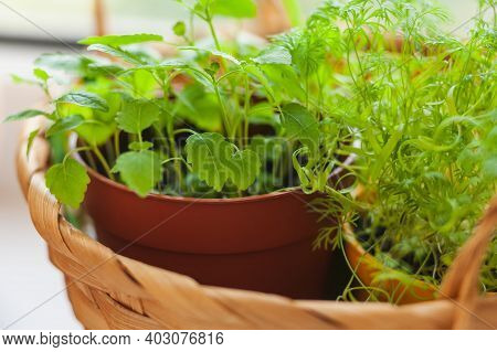Growing Herbs On The Windowsill. Young Sprouts Of Melissa And Dill In Pot And Basket On A White Wind