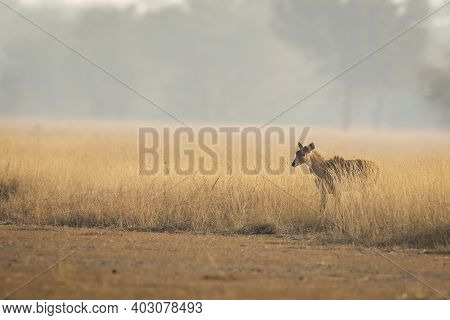 Largest Asian Antelope Nilgai Or Blue Bull Or Boselaphus Tragocamelus Fawn In Open Grassland Or Fiel