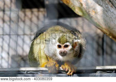 The Monkey Sits On A Tree And Looks Attentively