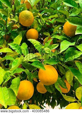 Orange Tree With Ripe Fruit. Lots Of Fresh Oranges And Green Leaves. Vertical Mobile Photo