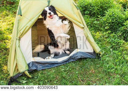 Outdoor Portrait Of Cute Funny Puppy Dog Border Collie Sitting Inside In Camping Tent. Pet Travel Ad