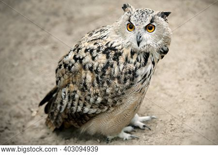 Eurasian Eagle-owl (bubo Bubo) Is Sitting On The Sand. Detail Of The Biggest European Owl. Dominant
