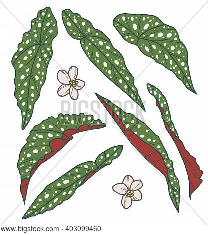 Vector Collection Drawing Set Of Leaves Of Exotic Polka Dot Begonia Houseplant With Botanic Name Beg