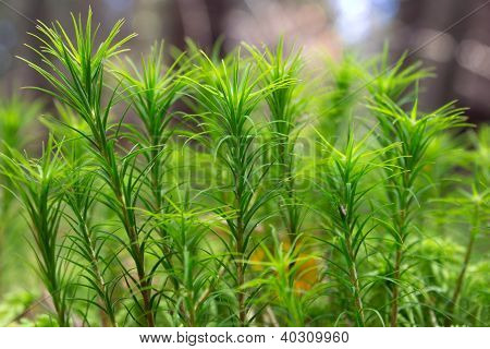 Leaf moss (polytrichum) on the forest macro closeup poster
