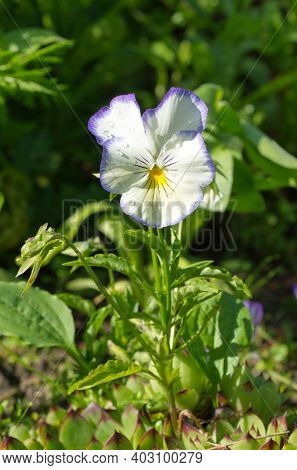 Viola Tricolor, Or Pansies Blooms In The Garden