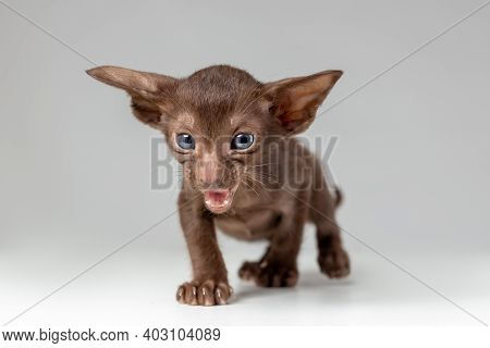 Little Active Kitten Of Oriental Cat Breed Of Solid Chocolate Color With Blue Eyes Is Meowing And Wa