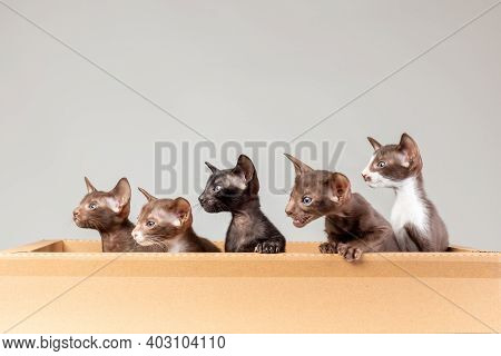 Group Of Little Kittens Of Oriental Cat Breed With Big Ears Of Brown And Black Color Sitting Togethe