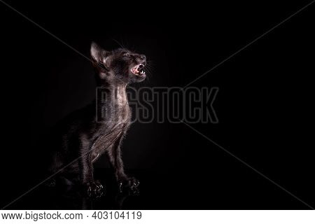 Portrait Of Profile Of Little Black Color Kitten Of Oriental Cat Breed Sitting And Meowing Against B