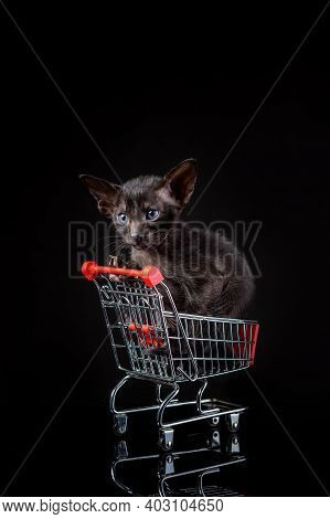 Little Kitten Of Oriental Cat Breed Of Solid Ebony Color Sitting In Small Toy Supermarket Basket Aga