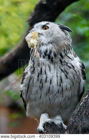 Eurasian Eagle-owl (bubo Bubo) With Hunted Down Prey Is Sitting On Tree Branch. Detail Of The Bigges