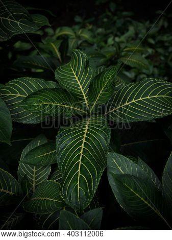Tropical Rainforest Lush Green Flowering Plant Large Leaf Jungle At Waterfall Leke Leke In Baturiti