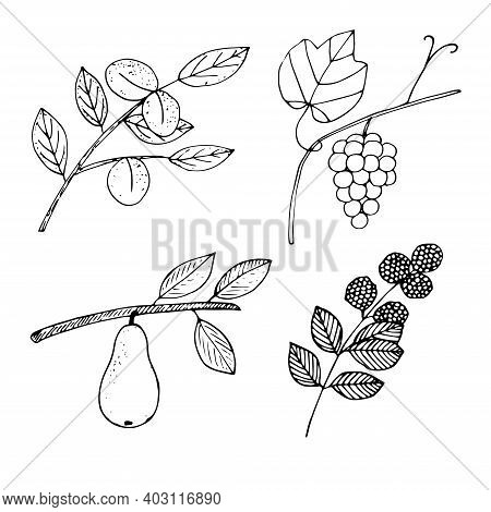 Set Of Fruits And Berries On Twigs Vector Illustration Apricot Grapes Pear And Blackberry Hand Drawi