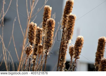 Commonly Called Blazing Star, Dense Blazing Star Or Marsh Blazing Star, Is A Tall, Upright, Clump-fo