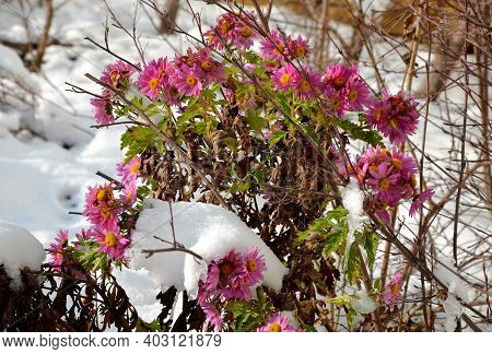 Ornamental Flower Beds With Grasses And Perennials In Winter. Snowy Perennials In A Flowerbed With A