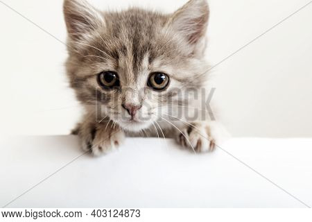 Kitten Head With Paws Up Peeking Over Blank White Sign Placard. Sad Kitten With Big Eyes Curiously P