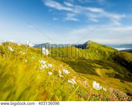 Fascinating summer scene of a green mountain range on a sunny day. Location place Carpathian mountains, Ukraine, Europe. Vibrant photo wallpaper. Fresh vibrant colors. Discover the beauty of earth.