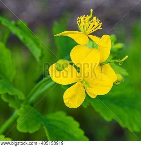 Medicinal Herbs. Yellow Flowers And Green Leaves Of Celandine In A Garden