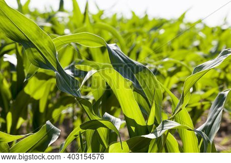 Agricultural Field With Green Corn, Corn Has Natural Dirt And Dirt And Damage That Appeared During G