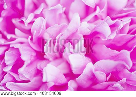 Pink Peony Flower Close Up. Petals Close Up. Blurred Abstract Background.