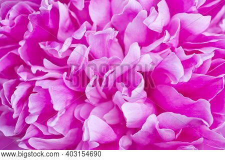 Pink Peony Flower Close Up. Petals Close Up. Pink Flower Background