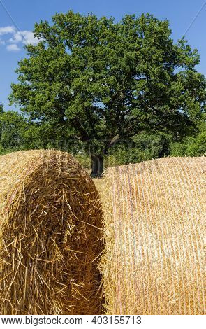 An Agricultural Field With An Oak Tree And Haystacks After The Wheat Harvest, The Wheat Was Left Wit