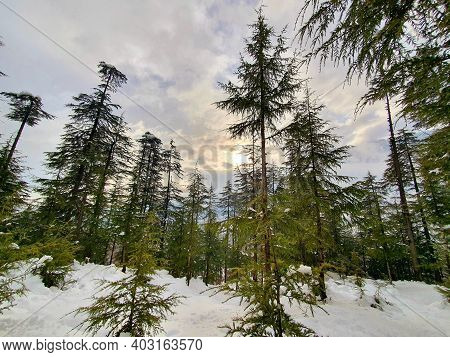 Trees Huge Touches Sky In Winters.