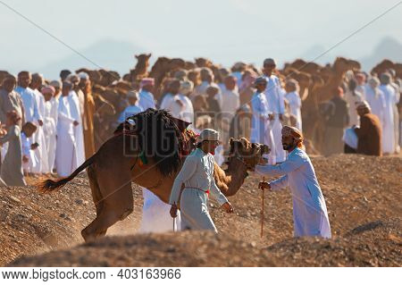 Oman, January 9, 2021. Camel Riders Take Care Of An Injured Camel In The Middle Of A Camel Race. Med