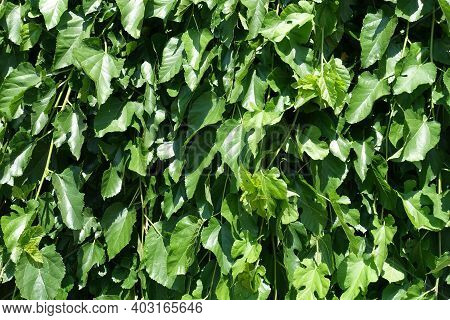 Backdrop - Green Leafage Of Mulberry In Mid June