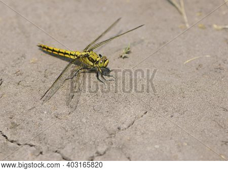 Yellow Dragonfly Sympetrum Danae Sulzer, Sitting On Dry Ground On A Sunny Day. Spring Or Summer Back