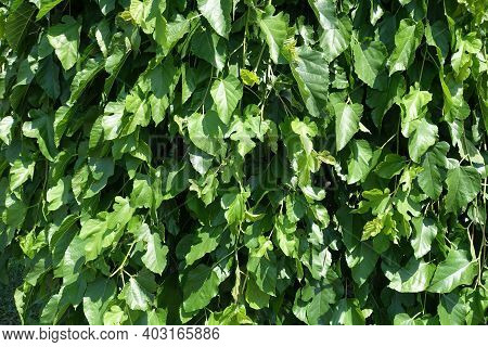 Background - Green Leafage Of Mulberry In Mid June
