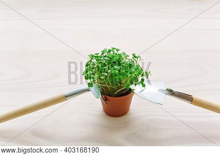 The Concept Of Proper Nutrition And Growing A Small Plantation Of Greenery On The Windowsill