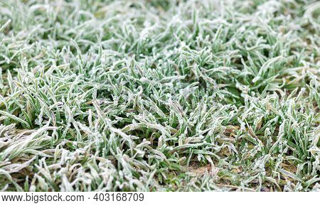 Background Of Frost Or Hoar On Green Grass In Morning